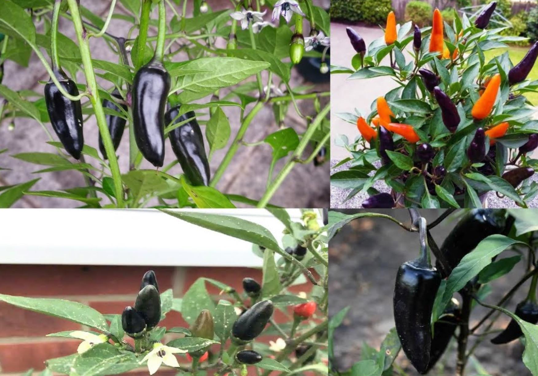 Black chili pepper seeds uk