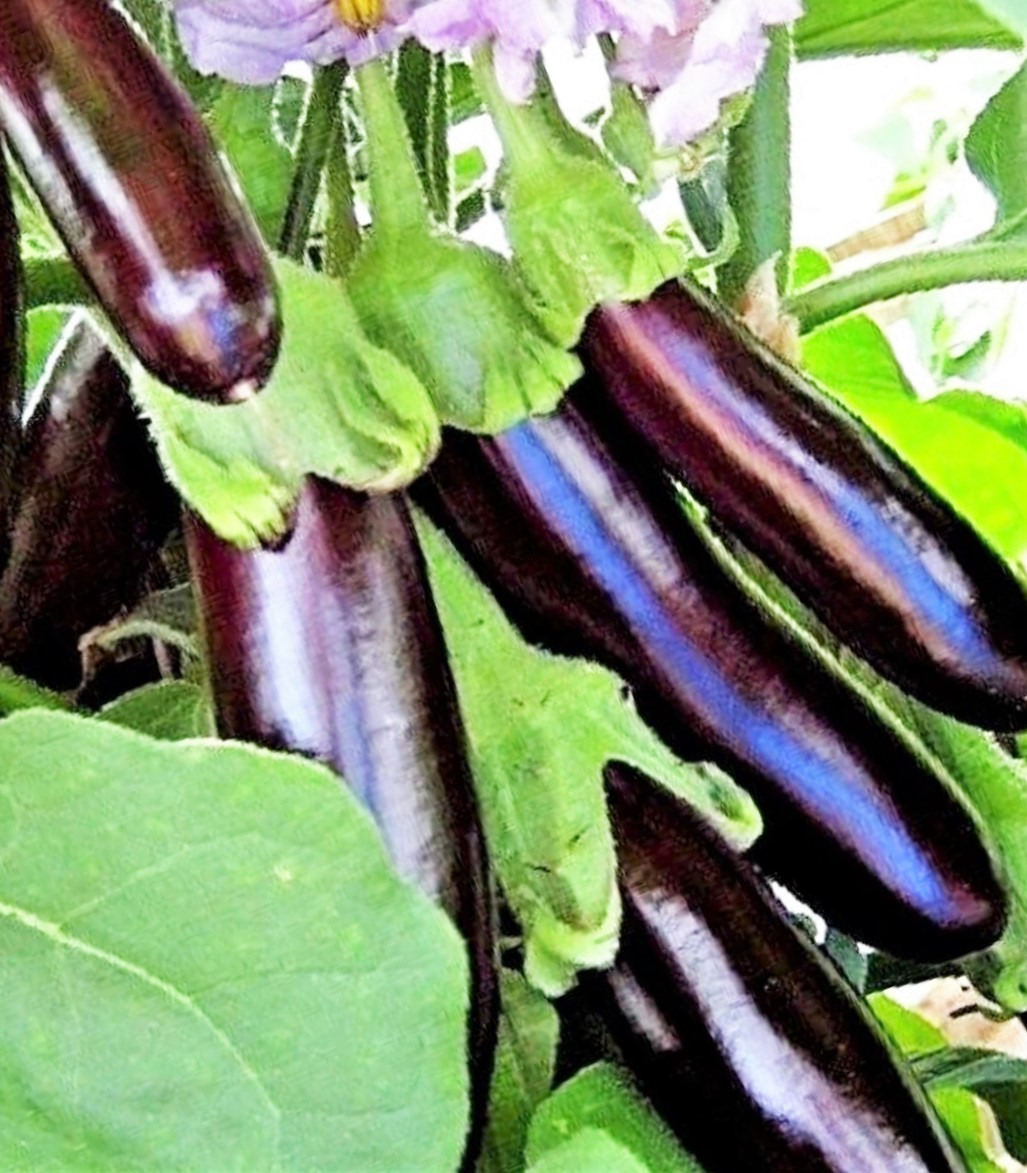 Vegetable Aubergine Long Purple