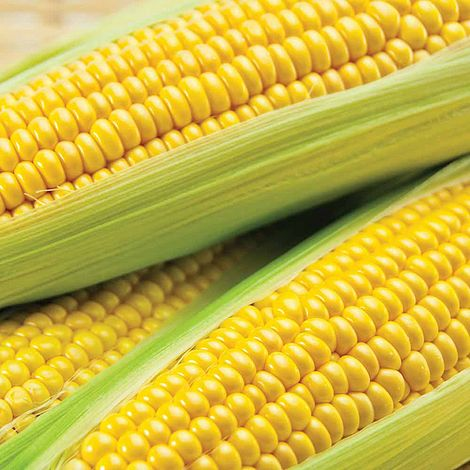 Sweetcorn 'Conquerer' F1 Hybrid (Supersweet)
